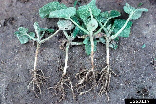 File:Cucumber Root-Knot Nematode.jpg