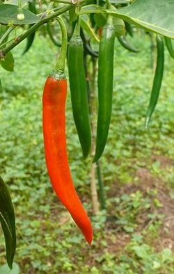 Chilli Born fire