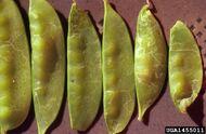 Pea Leafminer