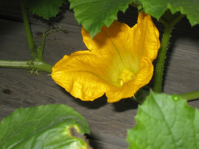 File:Spaghetti Squash Female Flower.jpg