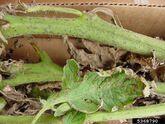 Tomato Septoria Leaf Spot Stem