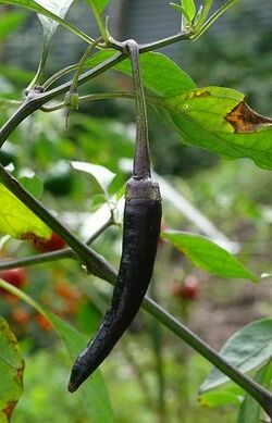 Chilli Cayenne long purple
