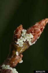 Winter moth eggs Operophtera brumata
