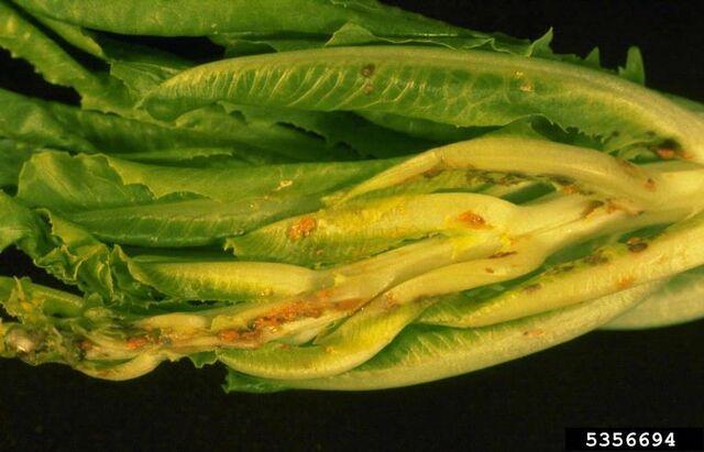 File:Lettuce Aster Yellows 2.jpg
