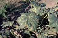 Cucumber Angular leaf spot P. amygdali pv. lachrymans