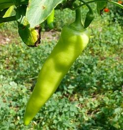 Sweet pepper Banana