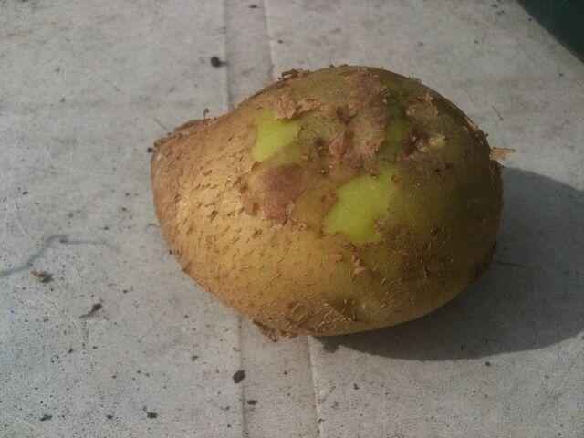 File:Potato Maris Peer Scuffing.jpg