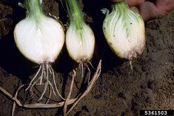 Onion Fusarium basal rot Fusarium oxysporum f. sp. cepae
