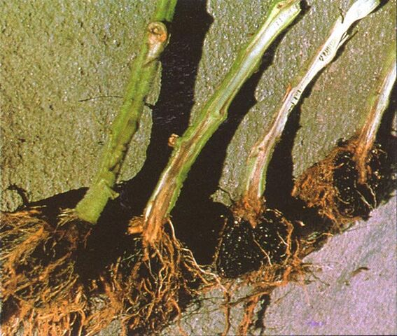File:Tomato Root Rot.jpg