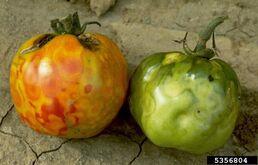 Tomato Tomato Spotted Wilt Virus