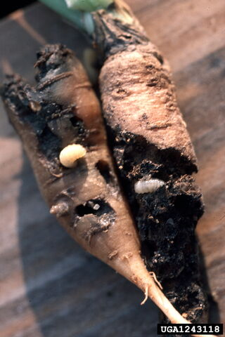 File:Carrot Weevil Larvae.jpg