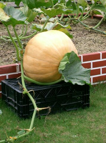 File:Atlantic Giant Pumpkin.jpg