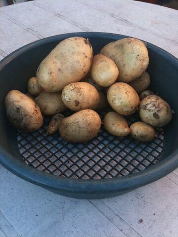 File:Potato Maris Peer.jpg