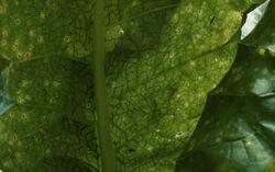 Potato Virus Y Leaf