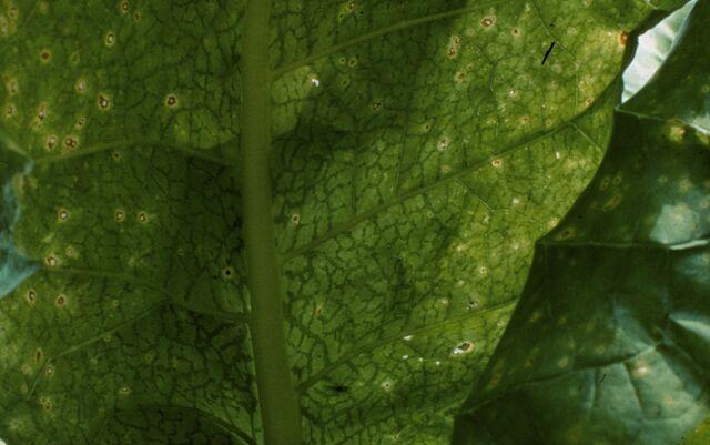File:Potato Virus Y Leaf.jpg