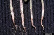 French Bean Pythium Root Rot