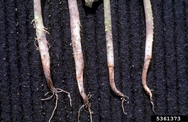 File:French Bean Pythium Root Rot.jpg