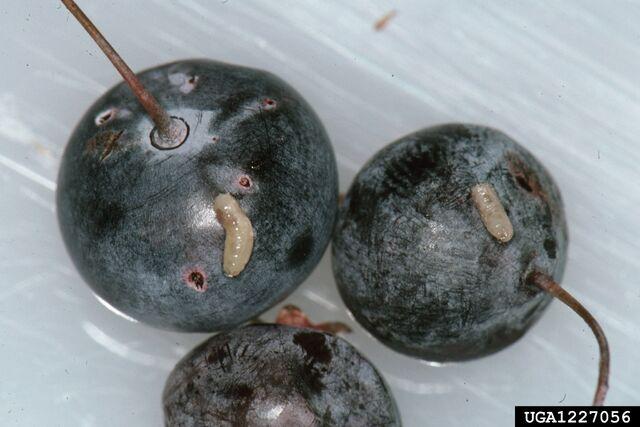 File:Blueberry Maggot (Rhagoletis pomonella).jpg