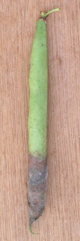 French Bean Botrytis
