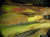 Corn Pythium