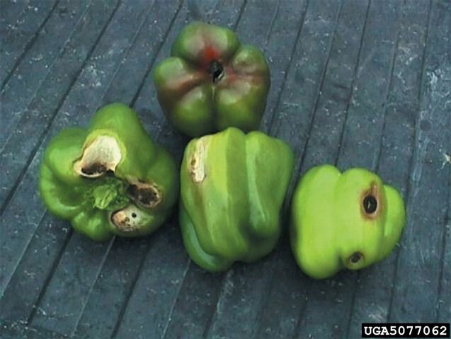 File:Pepper Blossom End Rot.jpg