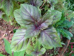 Basil Purple ruffles basil