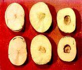 Broad bean Manganese deficiency Beans
