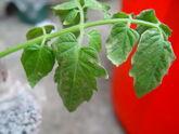 Tomato Botrytis Leaf