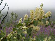Prunus ilicifolia LytleCreek