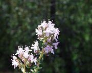 Thymus vulgaris10