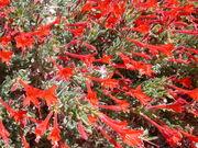 California fuschia Epilobium latifolium