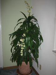 Dracaena Deremensis Janet Craig Flowering.jpg