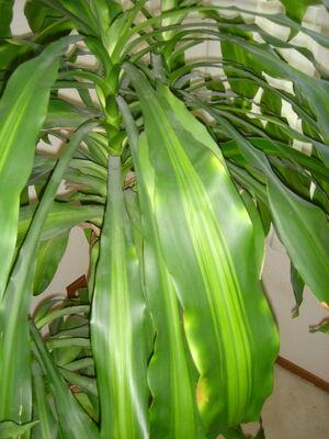 CornPlant200ppx