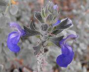 738px-Salviachamaedryoides2