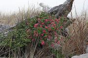 800px-Ribes sanguineum 5724