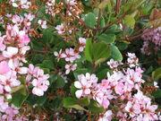 Indian Hawthorn Bloom.jpg