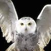 File:Battle-Hedwig.jpg