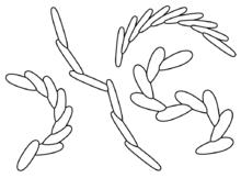 File:Treptichnus pedum.png