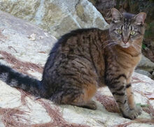 Barnstead-Kiara-brown-tabby