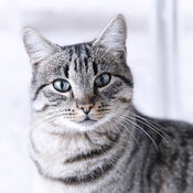 Portrait-gray-tabby-cat-maika-777