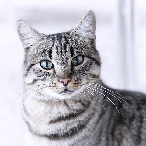 File:Portrait-gray-tabby-cat-maika-777.jpg