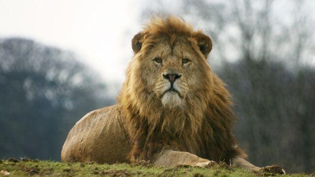 File:Lion-1.jpg