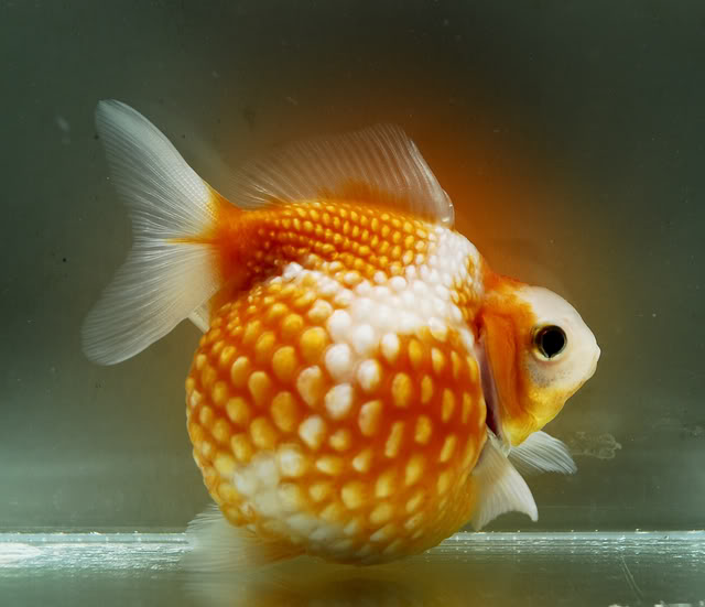 Pearlscale goldfish - photo#3