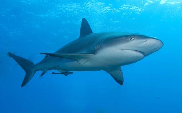 File:Caribbean reef shark.jpg