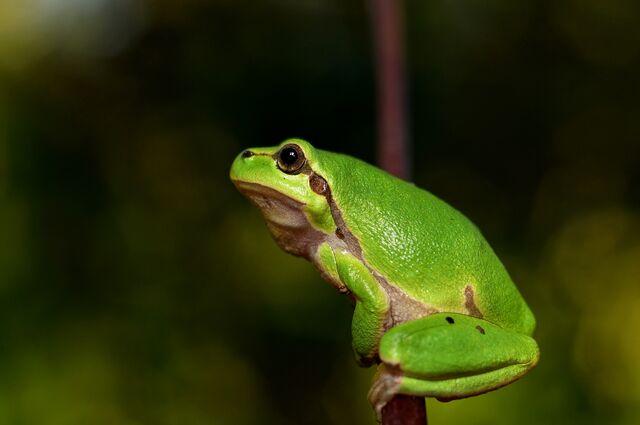 File:Hyla-meridionalis-the-frog-amphibians.jpg