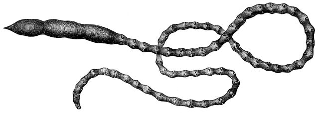 File:Arenia fragilis.png