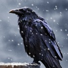 Lord Mormont's Raven