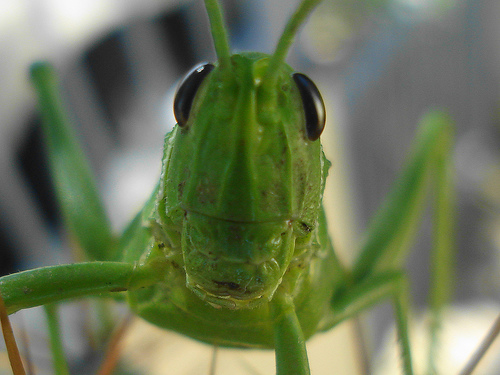 File:GrassHopper About.jpg