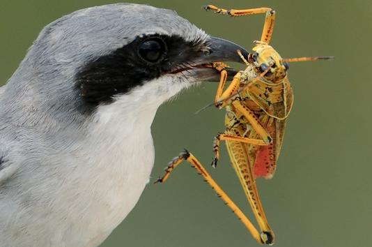 File:Bird Eating Grasshopper.jpg