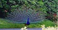 220px-Indian Peafowl-0
